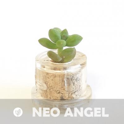 Babyplante Neo Angel Mini plante cactus Cremnophila Linguifolia