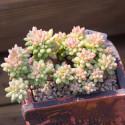 10 graines assortiment de cactus