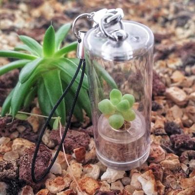 10 graines Monilaria Obconica
