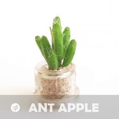 Babyplante Ant Apple mini plante cactus de la variété Rhipsalis burchelli