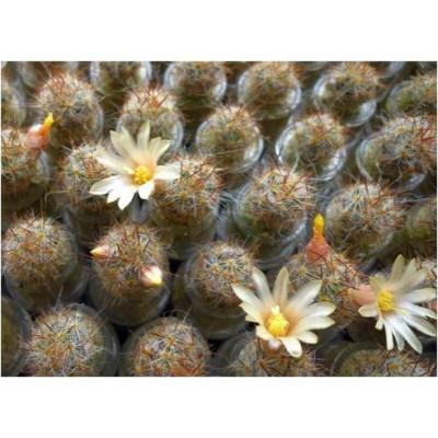 Floraison de mini cactus Mammillaria Prolifera