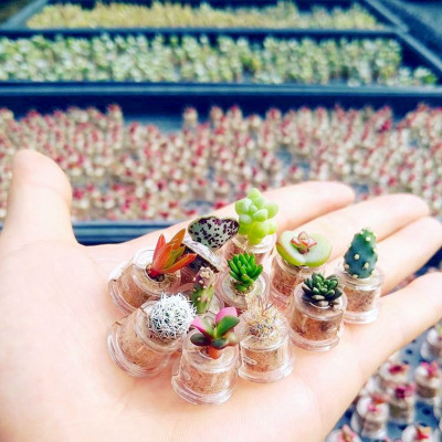 Lot de babyplantes cactus mini plantes grasses