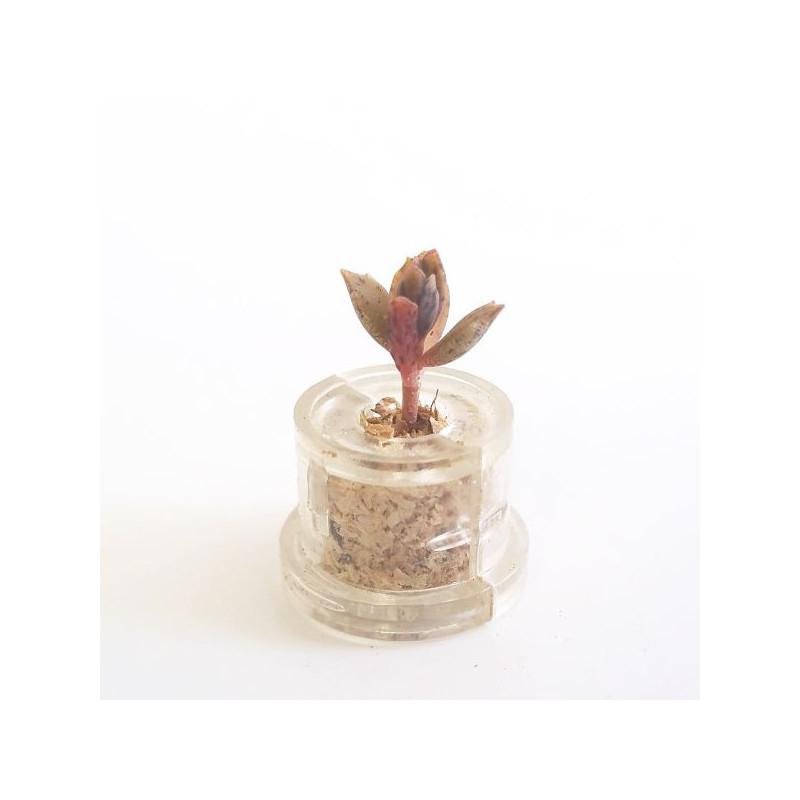 Mini plante succulente Black Phoenix ou Kalanchoe Houghton's Hybrid