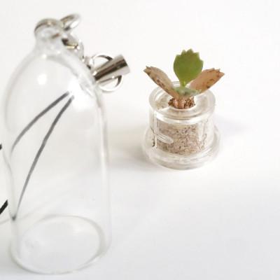 Babyplante mini plante cactus succulente Black Phoenix capsule cloche ouverte