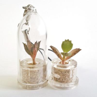 Babyplante mini plante cactus succulente Black Phoenix ou Kalanchoe Houghton's Hybrid
