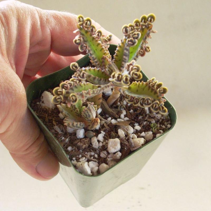 Hope Cactus (Mammillaria klissingiana) Cactus pelote