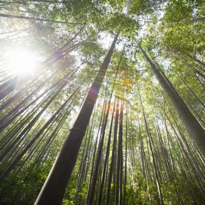 Bambou géant Moso Phyllostachys edulis, heterocycla, pubescens, graines, seeds, bambou d'hiver, plantation, arbres,
