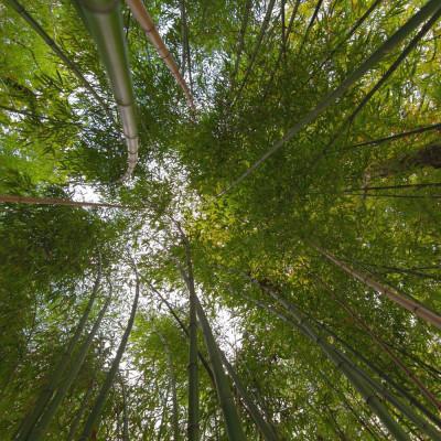 Bambou géant Moso Phyllostachys edulis, heterocycla, pubescens, graines, seeds, bambou d'hiver, plantation, forêt