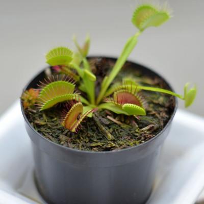 Dionaea muscipula communément appelée dionée ou attrape-mouche de Vénus, plante carnivore cactus succulente