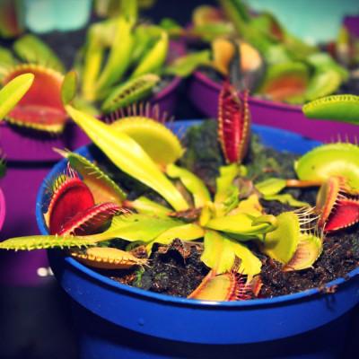 10 graines Dionaea muscipula, Dionée attrape-mouche, Venus flytrap