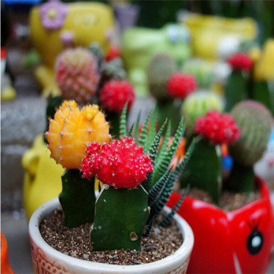 10 graines assortiment de cactus, plantes grasses, succulentes rares à cultiver en intérieur, en serre ou dans une rocaille