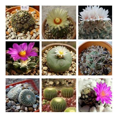 Cactus, plantes grasses, succulentes rares à cultiver en intérieur, en serre ou dans une rocaille
