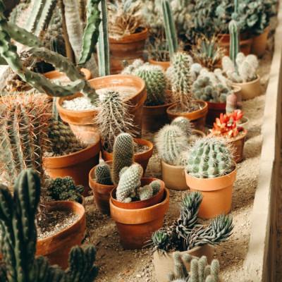 Cactus, plantes grasses, succulentes rares à cultiver en intérieur, en serre, en véranda, en pots ou dans une rocaille