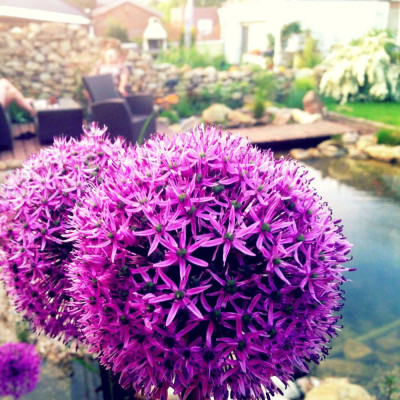 15 graines Allium...