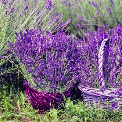 Lavande (lavandula) décore vos jardins, soigne par son huile essentielle, parfume par ses fleurs, et attire les abeilles