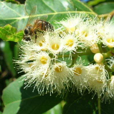 Eucalyptus deglupta, arbre arc en ciel, rainbow tree, fleurs, abeilles