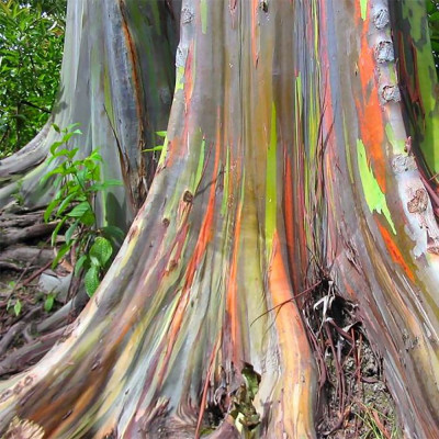 Eucalyptus deglupta, arbre arc en ciel, rainbow tree, tronc multicolore