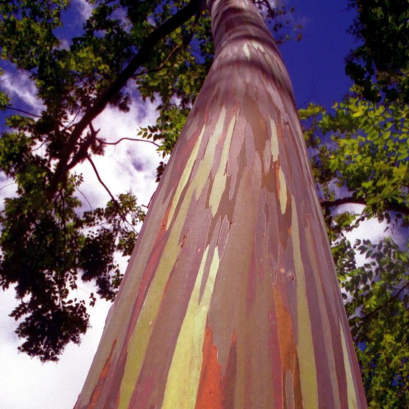 Eucalyptus deglupta, arbre arc en ciel, rainbow tree