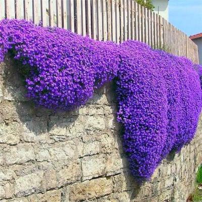 Aubriète deltoïde (Aubrieta deltoidea) est une jolie plante vivace dont la floraison est très abondante