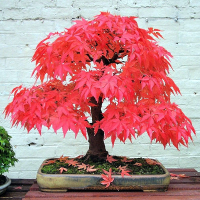 graines Erable rouge, Acer rubrum, red maple seeds, bonsai, automne, feuilles, arbre