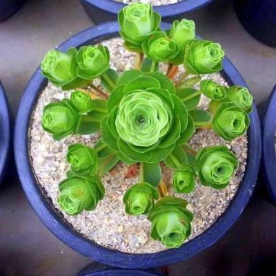 Greenovia dodrentalis Aeonium dodrantale, plante grasse originaire des Iles Canaries. Sachet 10 graines