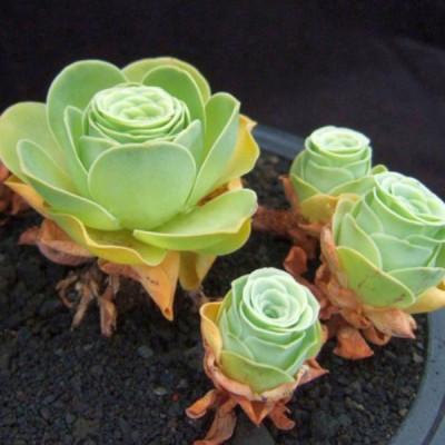 Greenovia dodrentalis Aeonium dodrantale, plante grasse originaire des Iles Canaries. Forme d'une belle Rose verte.