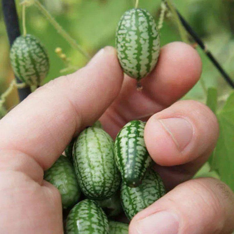 mini pastèque Watermelon, Citrullus lanatus Thumb