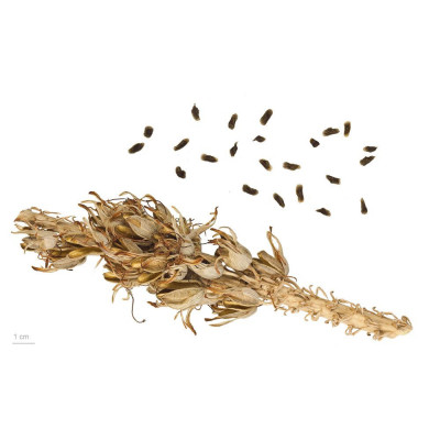 aloe vera, aloes, graines, seeds, plante décorative, facile d'entretien, vertus médicinales, cosmétique, gel, pulpe