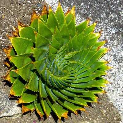 Aloe Polyphylla, aloès spirale, succulente, plante grasse