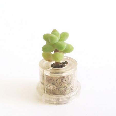 Minibocho (Haworthia cooperi var. truncata)