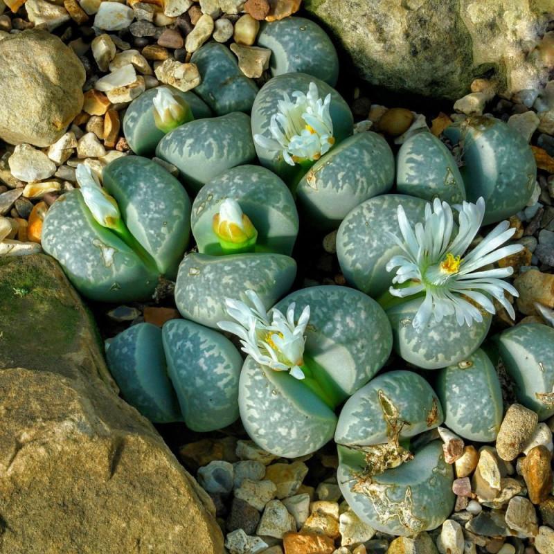 Lithops Optica, plante cailloux, plante succulente, graines, semis, plantation