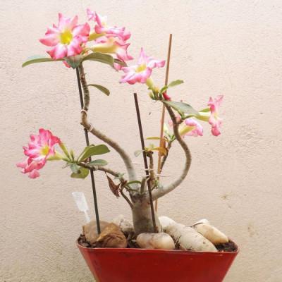 Rose du désert, Adenium obesum, Baobab chacal, Lis des Impalas, Sabi Star, Kudu, tronc, plante, arbre, nature, désert