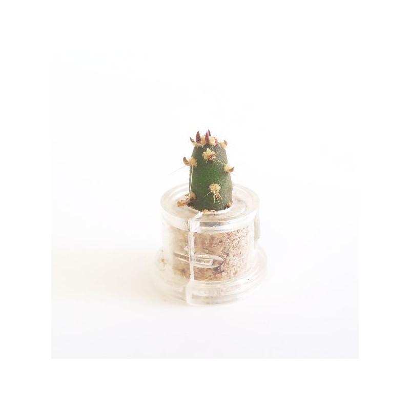 Babyplante Eve's needle - Austrocylindropuntia subulata ou Opuntia