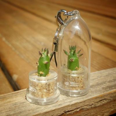 Babyplante Eve's needle - porte clé mini plante cactus